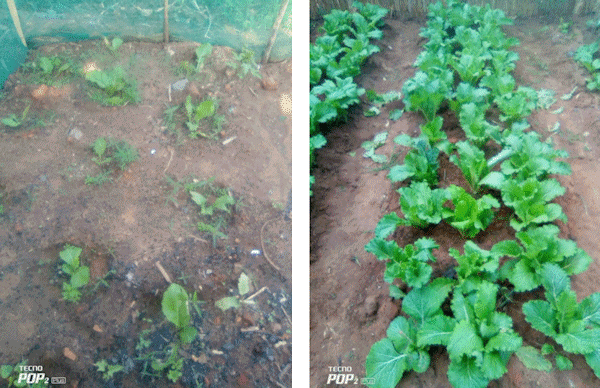 Mustard plants before and after biofertiliser was applied.